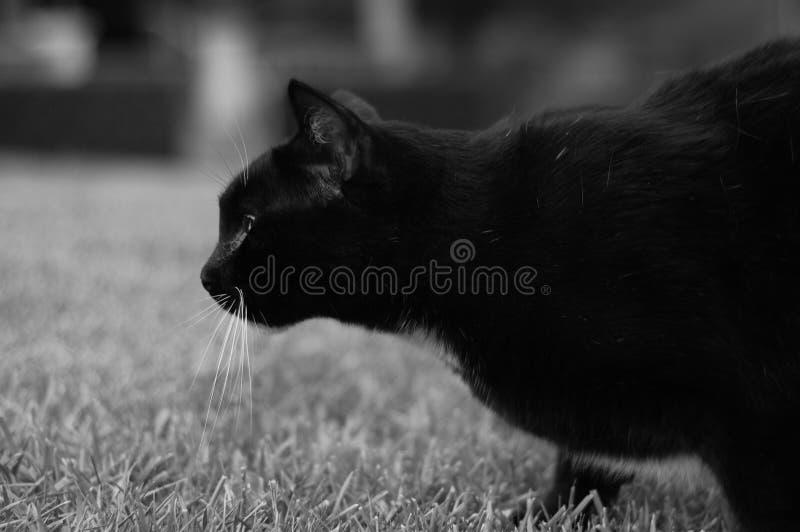 Een Zwarte kat op snuffelt rond stock fotografie