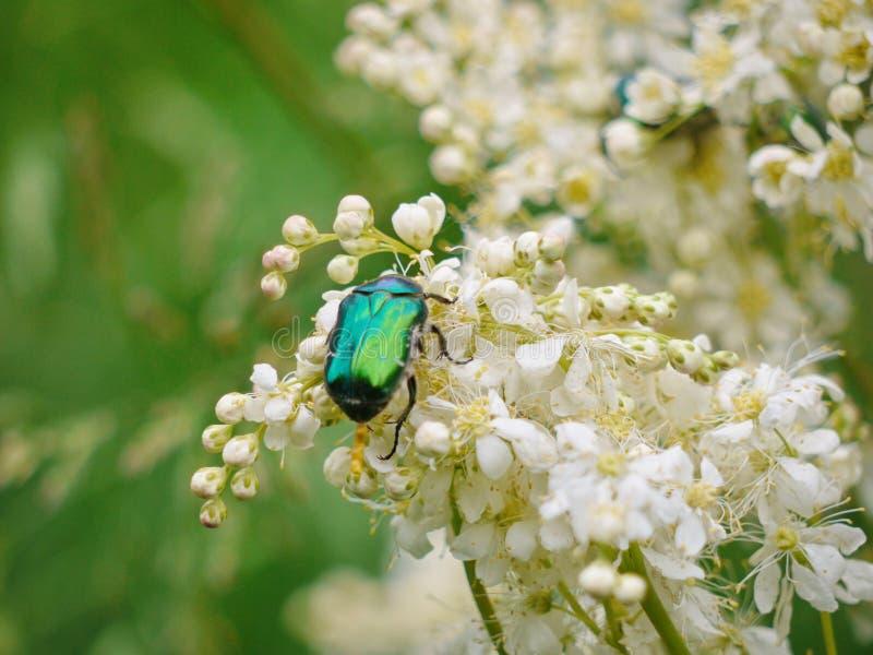 Een zwarte kever met een groene tint bewaart stuifmeel op witte kleine bloemen stock afbeeldingen