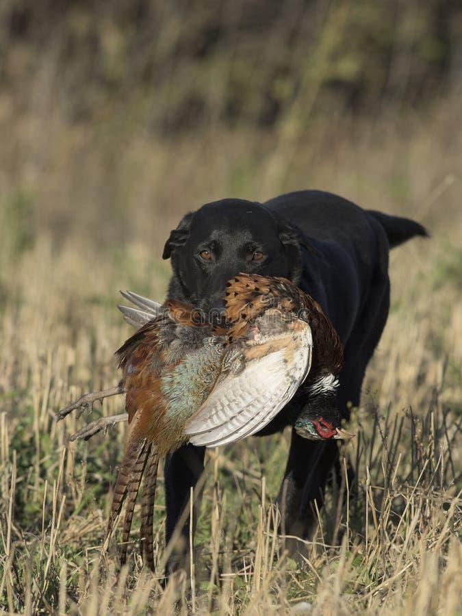 Een Zwarte Labrador met Haanfazant royalty-vrije stock afbeeldingen