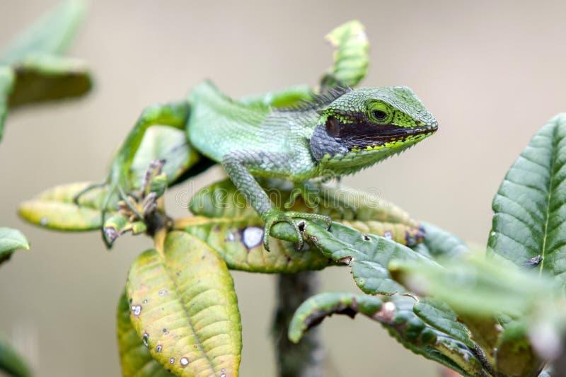 Een Zwarte Lipped Groene Hagedis & x28; Calotes Nigrilabris& x29; in Horton Plains National Park in Sri Lanka royalty-vrije stock foto's