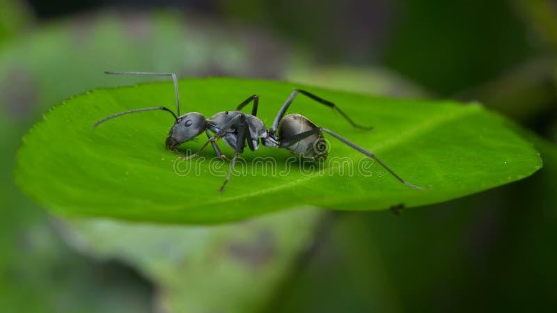 Een zwarte mier stock foto's