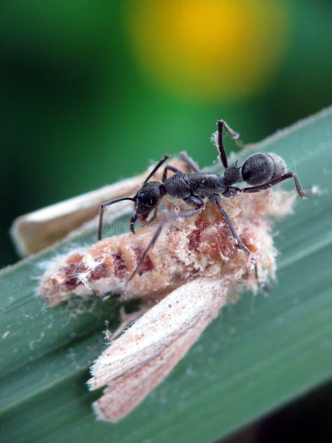 Een zwarte mier die een vlinder alleen lijk proberen te dragen stock fotografie