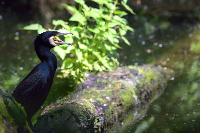 Een zwarte reigersvogel die bij een meer in dagtijd zijn stock foto