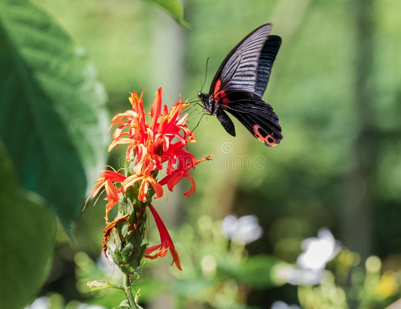 Een Zwarte Swallowtail-Vlinder landt royalty-vrije stock fotografie