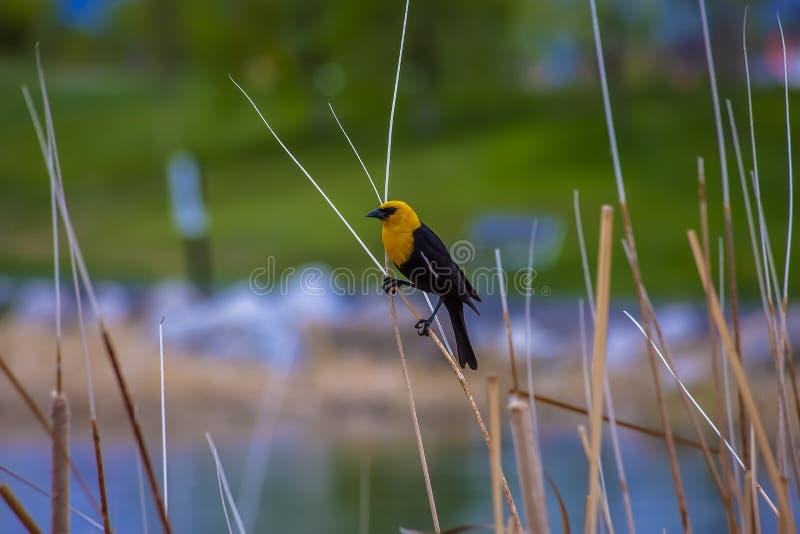 Een zwarte vogel streek op dun bruin gras neer dat rond een meer groeit stock afbeelding