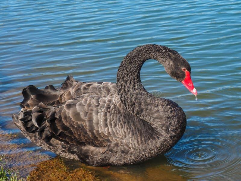 Een zwarte zwaan drijft op het meer royalty-vrije stock afbeelding