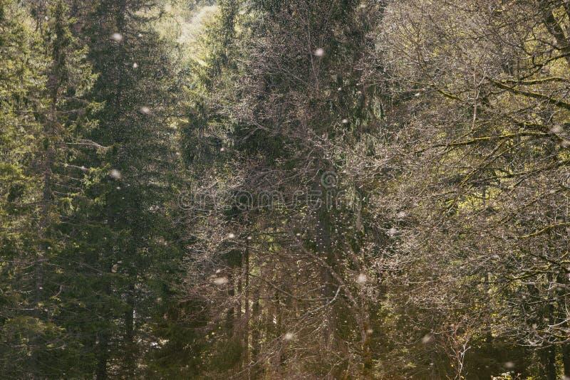 Een zwerm van insecten die op bosachtergrond vliegen Luchthoogtepunt van jonge libelinsecten Pijnboombomen op achtergrond Zwart B stock afbeelding