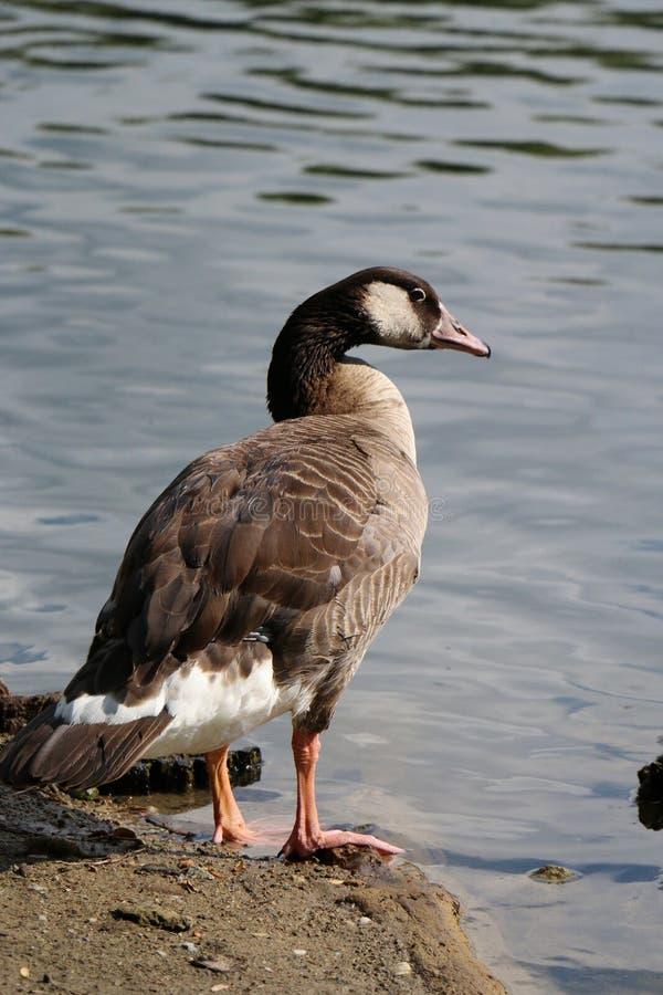 Eend bij het meer stock fotografie
