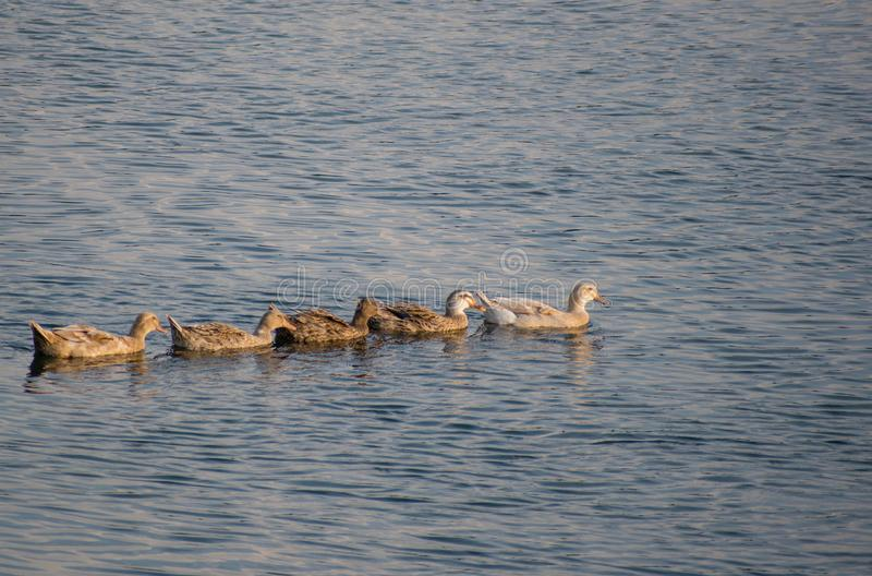 Eend die in een rivier zwemmen royalty-vrije stock foto