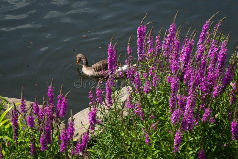 Eend die in het meer achter de bloeiende bloemen zwemmen royalty-vrije stock afbeeldingen
