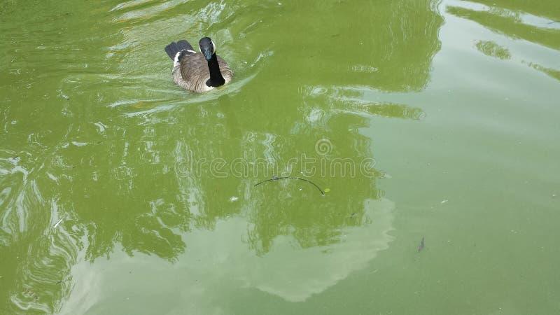 Eend die in kalm meer zwemmen royalty-vrije stock afbeeldingen