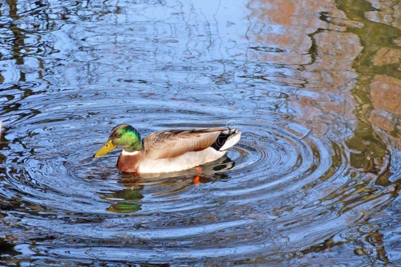 Eend die op het meer in Singletonpark zwemmen, Swansea, het UK royalty-vrije stock foto's