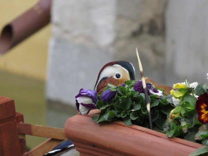 Eend die van achter bloempot met stekelvarken turen stock foto's