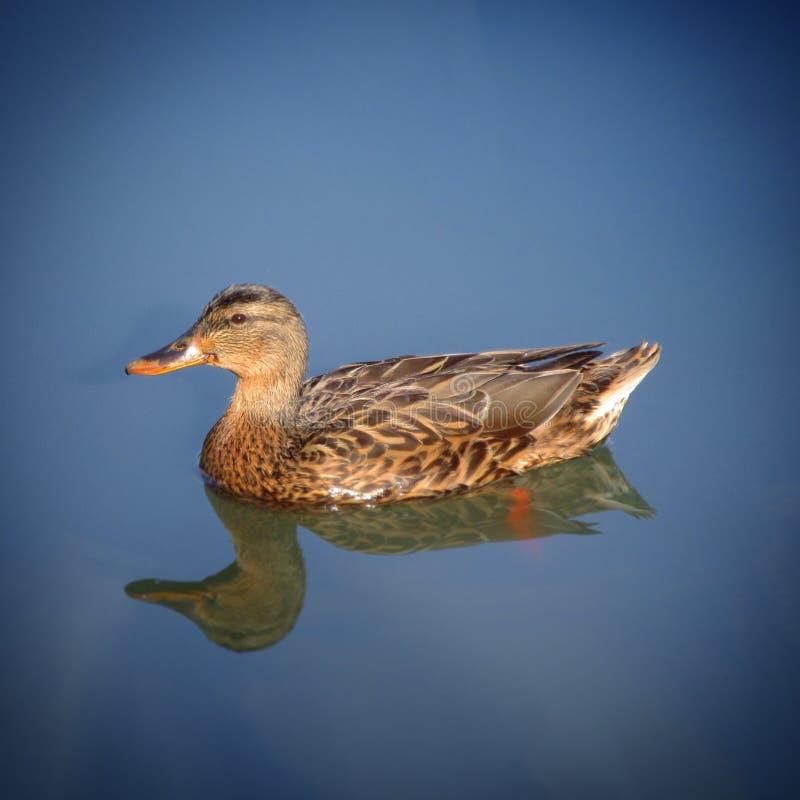 Eend en duidelijk meerwater royalty-vrije stock foto