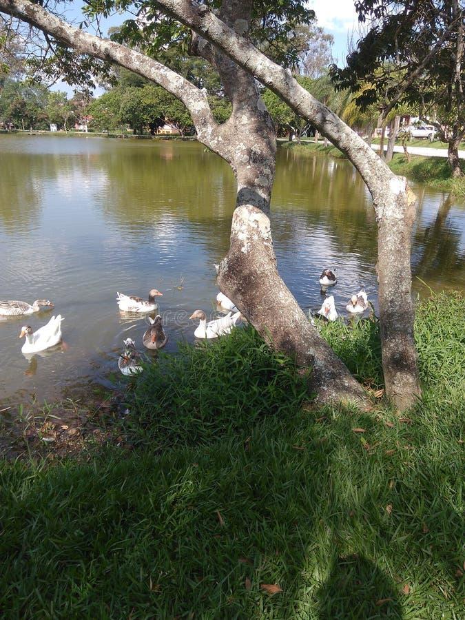 Eend in het meer stock fotografie
