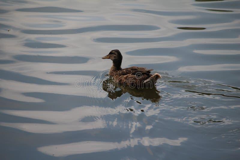 Eend in het water royalty-vrije stock afbeelding