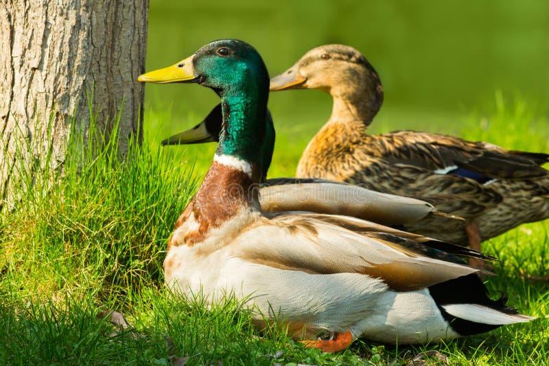 Eend met groene hoofdzitting op heldergroen gras Het wild van de vogels Wilde Eenden stock foto