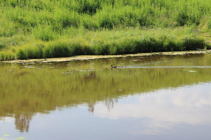 Eend met kleine eendjes die in de vijver zwemmen royalty-vrije stock afbeelding