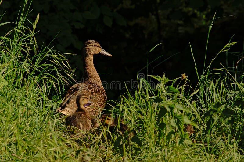 Eend met kuikens die in hoog gras verbergen stock foto