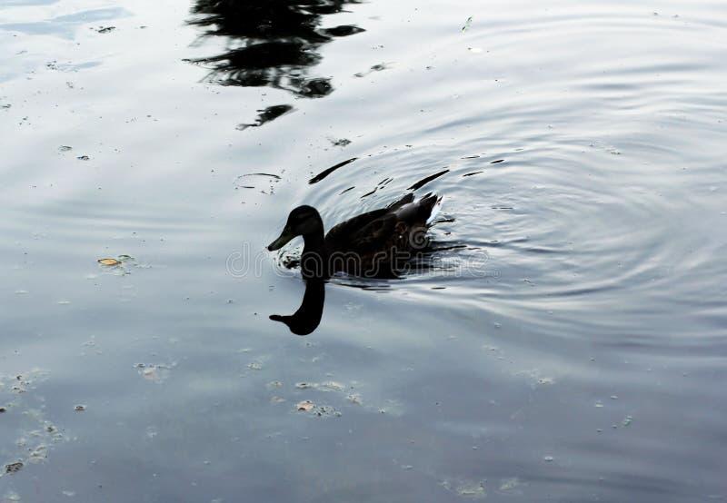 Eend op het meer stock foto's