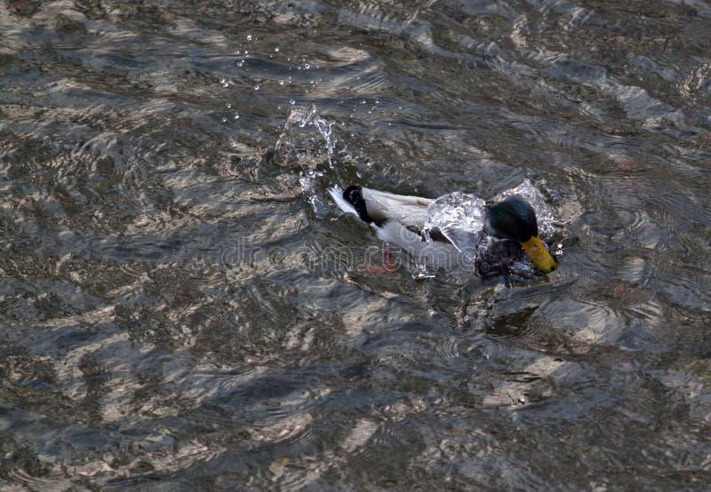 Eend op het water royalty-vrije stock afbeelding