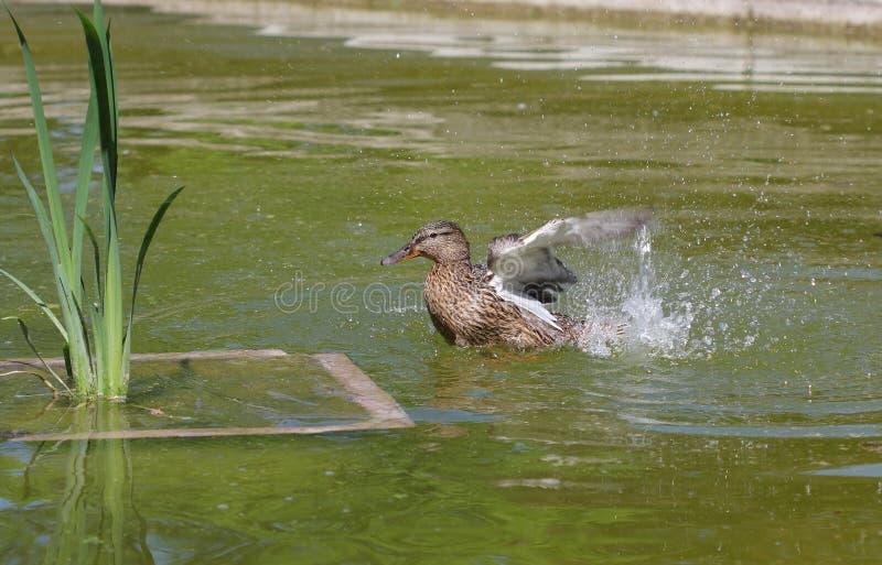 Download Eend In Park In Meer In Zonnige Dag Stock Afbeelding - Afbeelding bestaande uit waterbird, swimming: 54087535