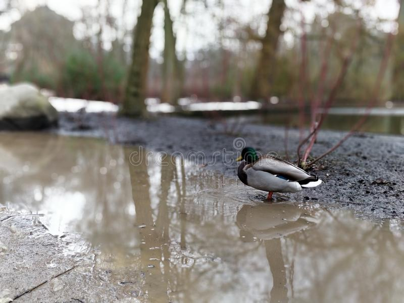 Eend in water stock fotografie