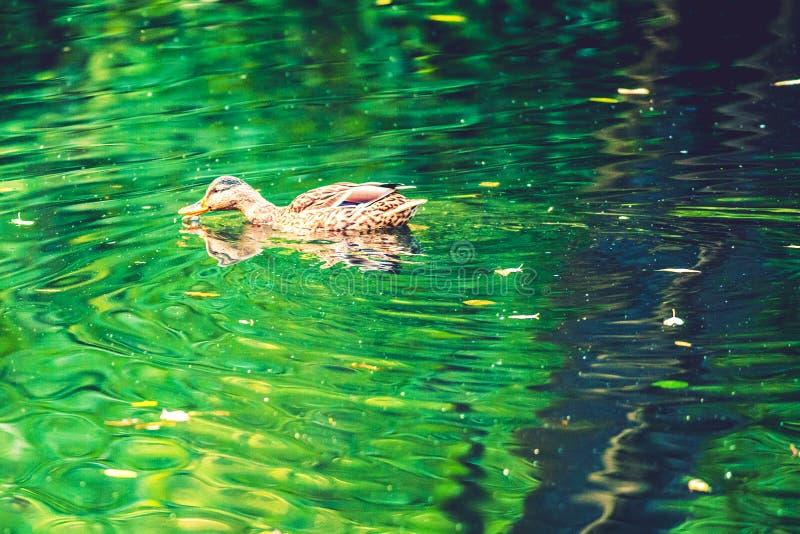 Eend in water stock afbeelding