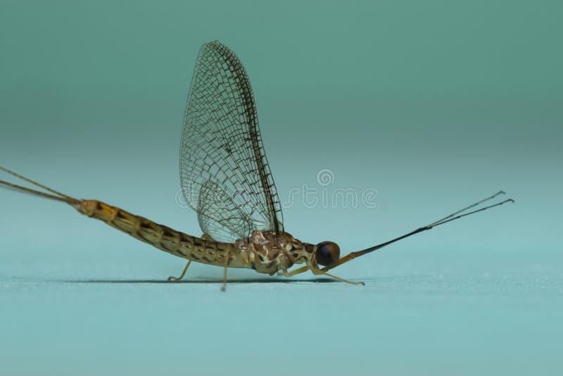 Eendagsvlieg in Badlapur dichtbij Mumbai wordt gezien die stock fotografie