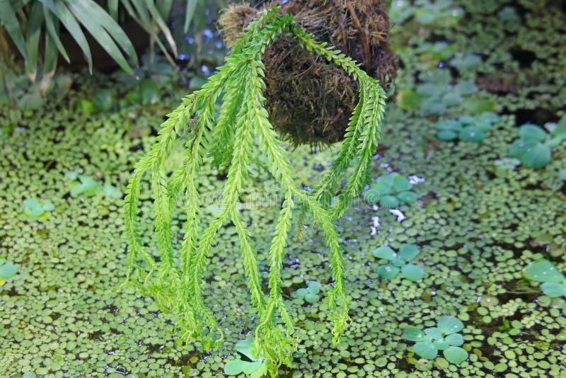 Eendekroos bij water en het succulente hangen in pot wordt behandeld die stock fotografie