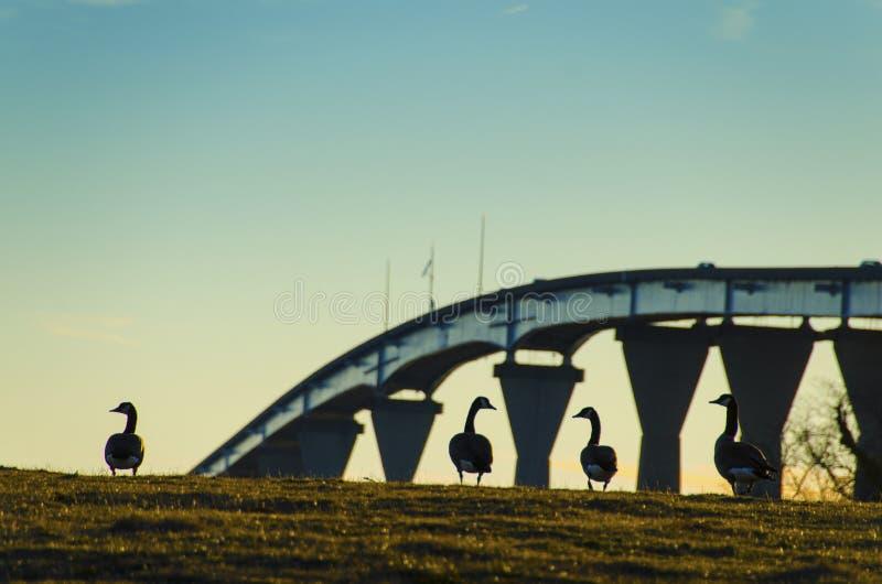 Eenden bij zonsondergang tegen Regering Thomas Johnson Bridge royalty-vrije stock fotografie
