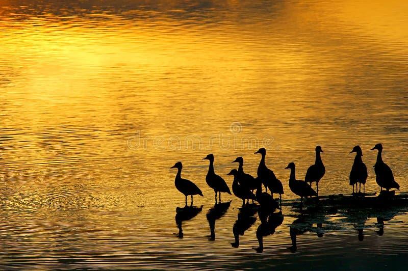 Eenden in de zonsondergang royalty-vrije stock foto's