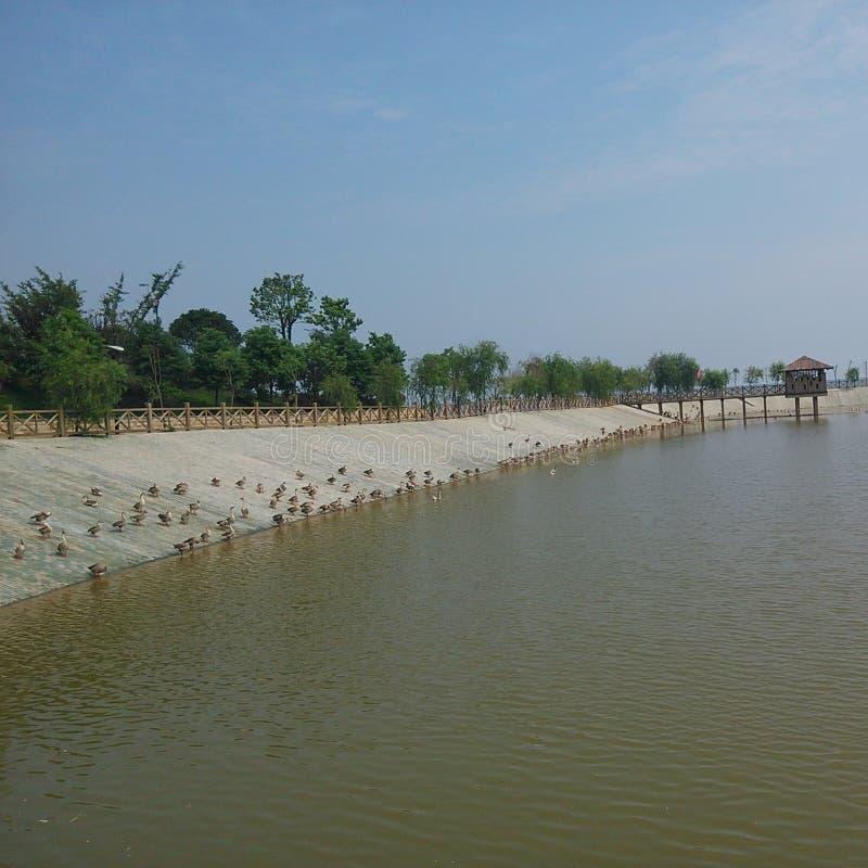 Eenden dichtbij het Poyang-meer royalty-vrije stock fotografie