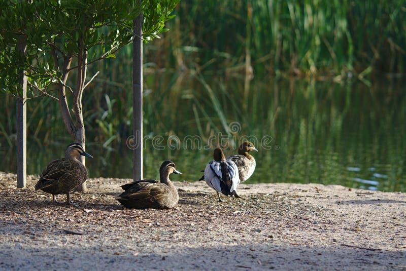 Eenden dichtbij water in middag stock foto