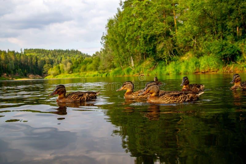 Eenden die in de rivier zwemmen royalty-vrije stock foto's