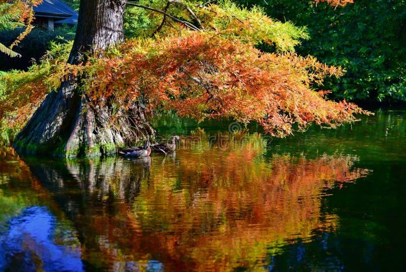 Eenden die onder een boom met oranje en gele bladeren in de herfst, in de Botanische Tuinen van Christchurch zwemmen royalty-vrije stock afbeelding