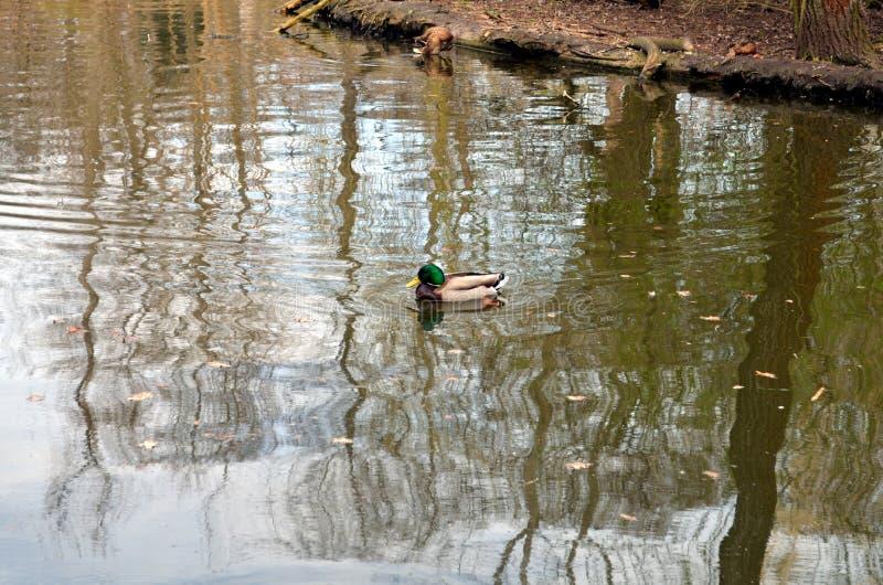 Eenden die op een vijver zwemmen royalty-vrije stock fotografie