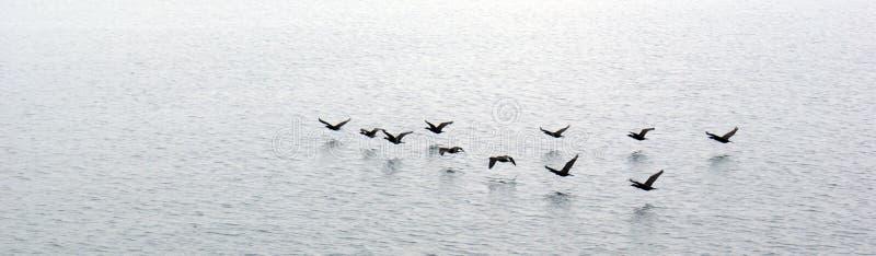 Eenden die over water vliegen royalty-vrije stock afbeeldingen