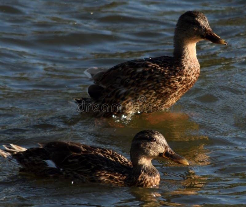 Eenden die samen zwemmen stock afbeeldingen