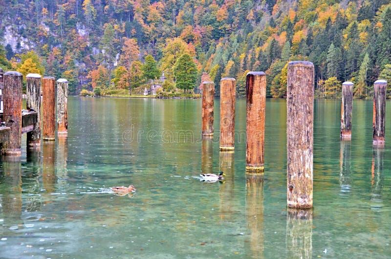 Eenden die vrij dichtbij de pijler zwemmen royalty-vrije stock afbeeldingen