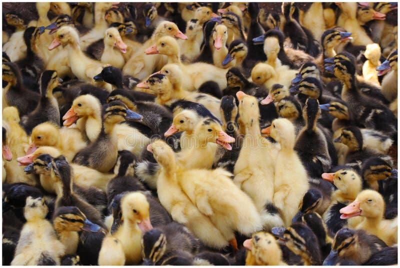 Eenden in dierlijke markt royalty-vrije stock fotografie