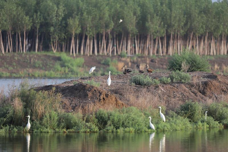 Eenden en Aigrettes die enkel uit op eendeiland hangen stock foto's
