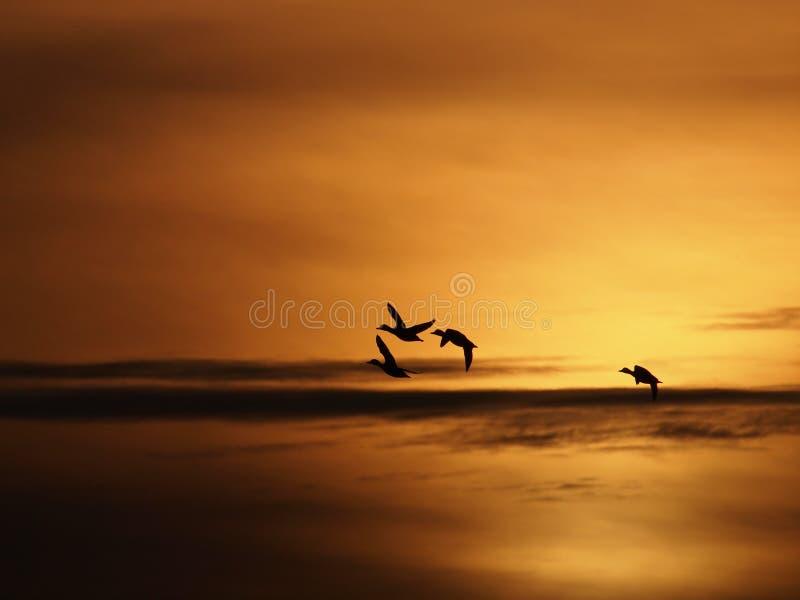 Eenden en zonsondergang royalty-vrije stock afbeelding