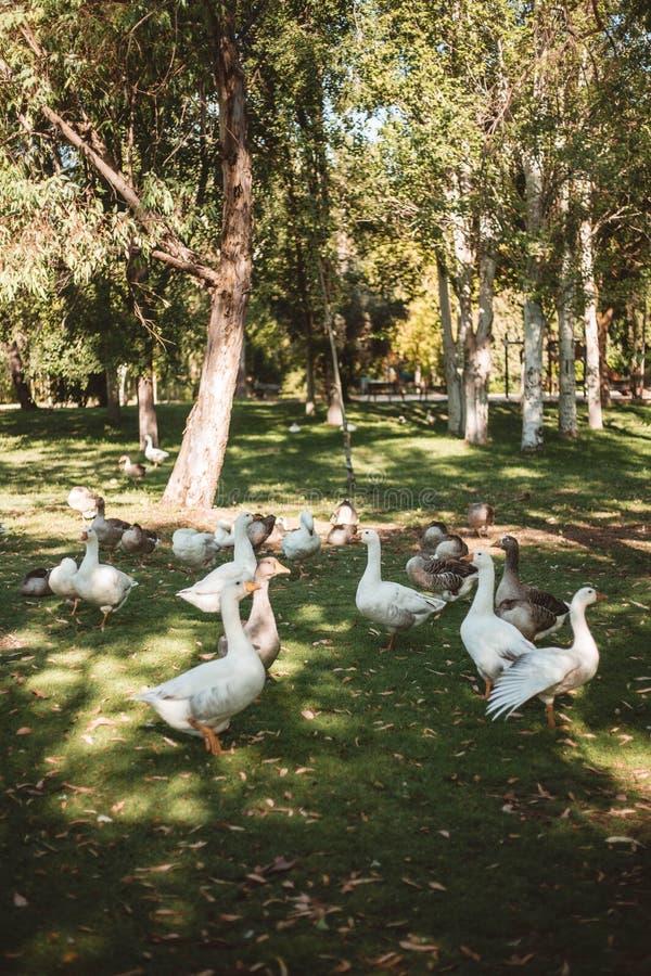 Eenden in het park die hun eendjes beschermen stock afbeeldingen