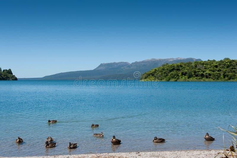 Eenden, Meer & Berg - Tarawera royalty-vrije stock foto's