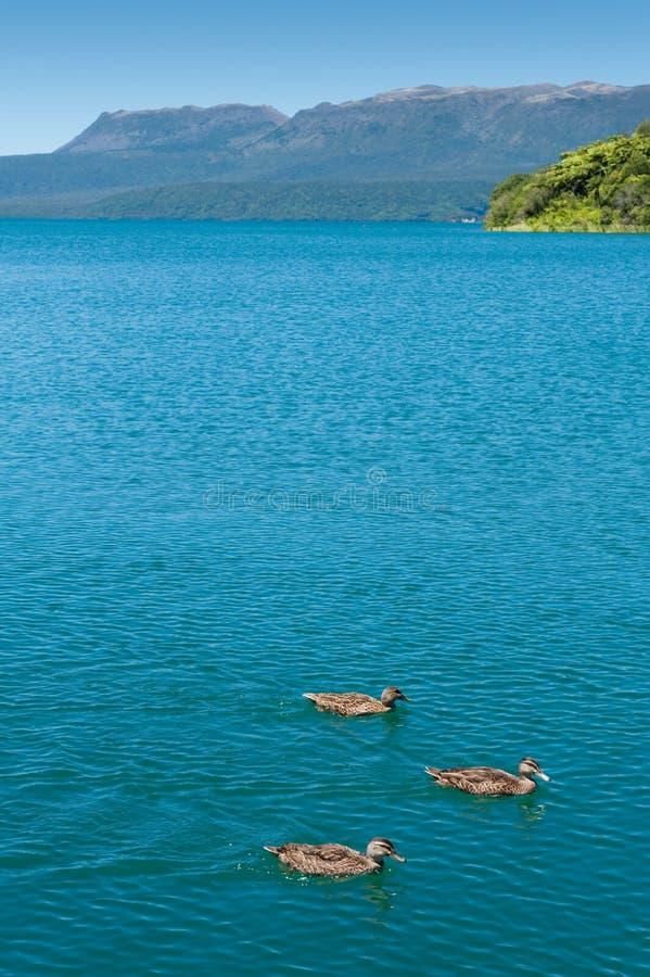 Eenden, Meer & Montain - Tarawera royalty-vrije stock fotografie