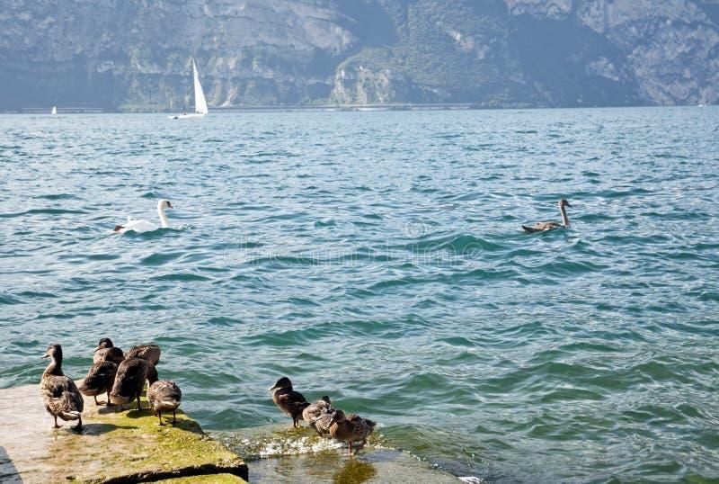 Eenden op de jachthaven van de stad van Malcesine op meer Garda, Italië royalty-vrije stock afbeelding