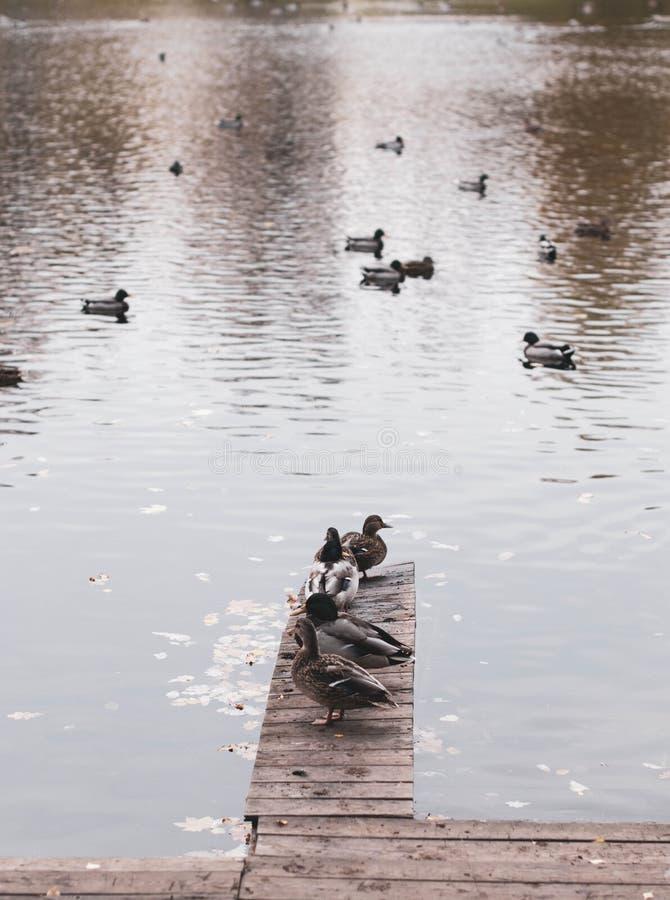 Eenden op de pijler door de vijver - Vogelfoto stock fotografie