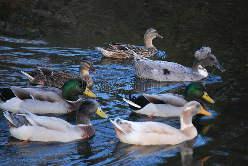 Eenden op het meer stock foto
