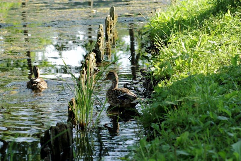 Eenden op het meer in het park stock foto